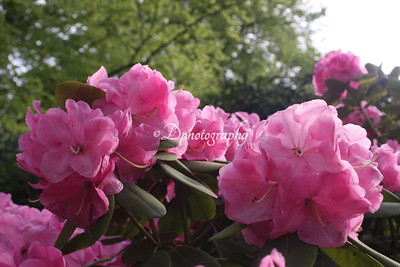 030514 Rhododendron