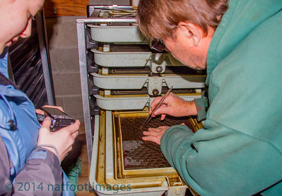 Mia Davison of Lynwood is being shown the Alevin salmon at the Willow Creek Fish Hatchery. (Jan 20th, 2014)