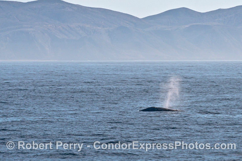 A lone Pacific gray whale (Eschrichtius robustus) travels along the north face of Santa Cruz Island.