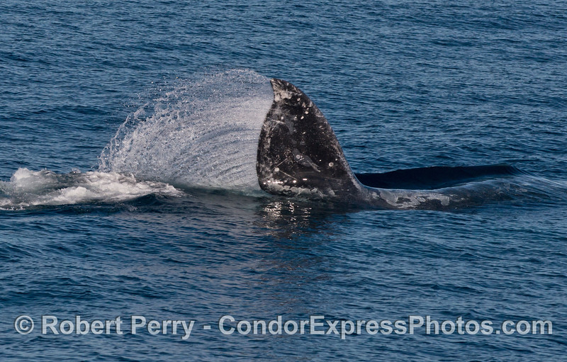 Image 1 of 2:  Pacific gray whale (Eschrichtius robustus) tail swipe.