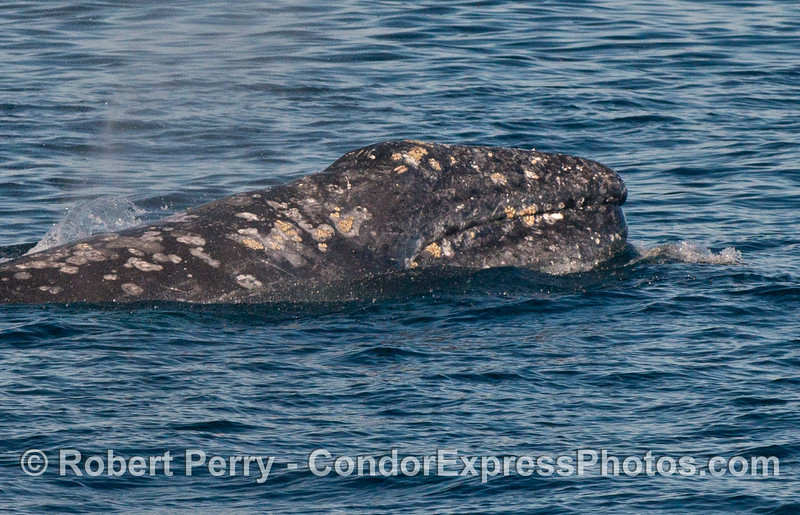 A Pacific gray whale (Eschrichtius robustus) lifts its head.