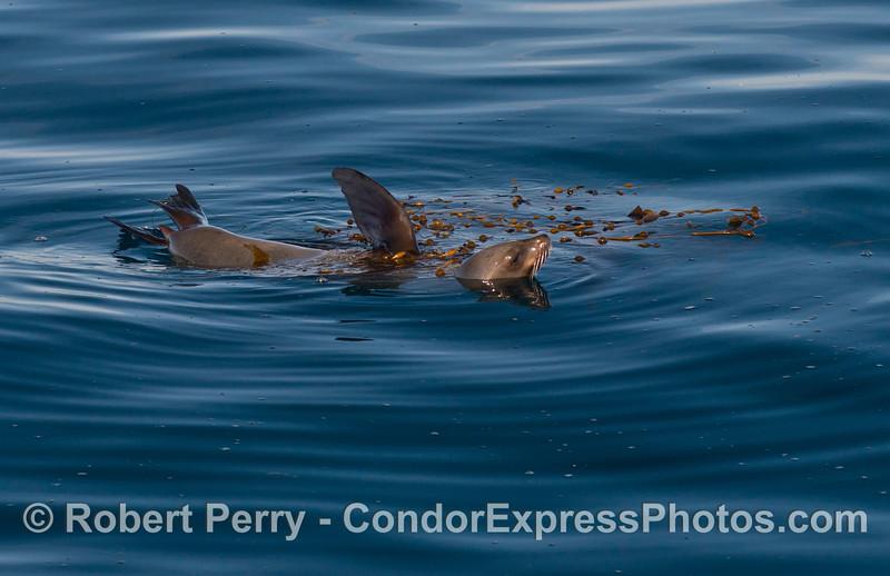 A rafting California sea lion (Zalophus californianus) and a small patch of drifting giant kelp (Macrocystis pyrifera).