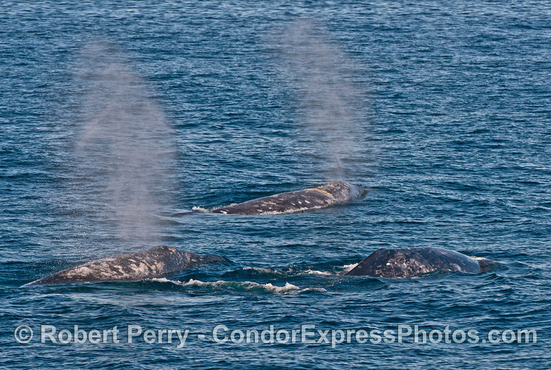 Image 2 of 2:  Three Pacific gray whales (Eschrichtius robustus).