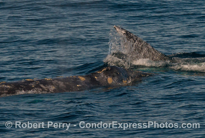 Two Pacific gray whales (Eschrichtius robustus) interact.  The lead whale lifted its tail flukes.
