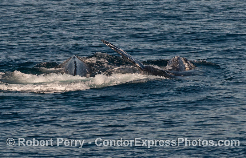More sideways Pacific gray whales (Eschrichtius robustus).