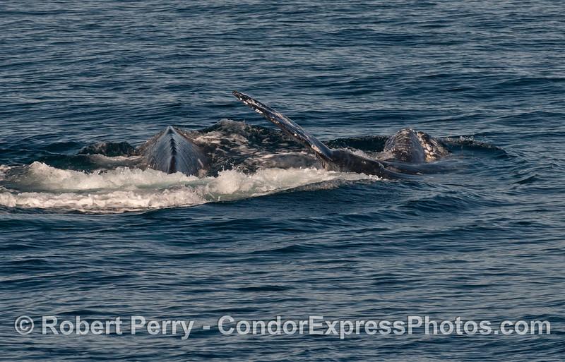 More sideways Pacific gray whales (Eschrichtius robustus).