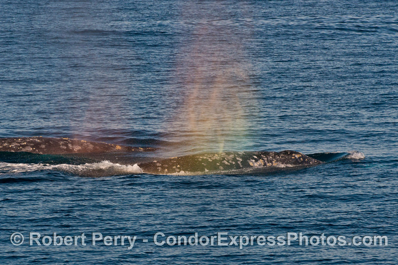 Rainbow colored spout spray - Pacific gray whales (Eschrichtius robustus).