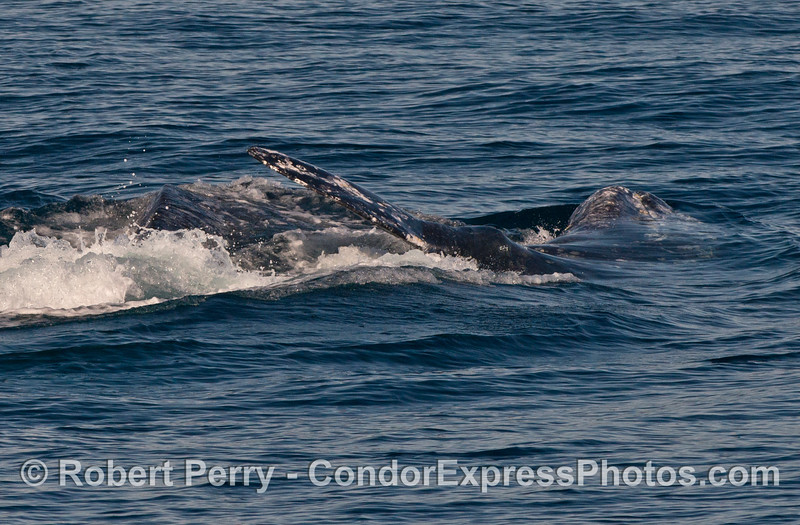 Two Pacific gray whale (Eschrichtius robustus) sideways and upside down.