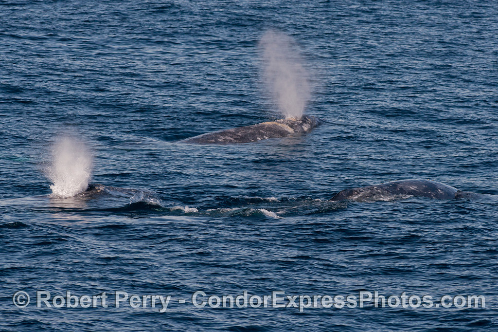 Image 1 of 2:  Three Pacific gray whales (Eschrichtius robustus).