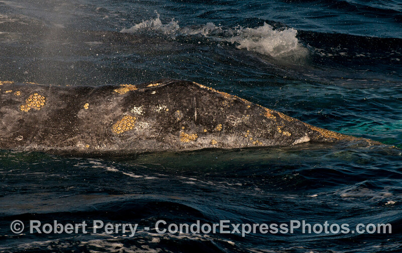Close up look at the barnacles (Cryptolepas rhachianecti) covering the head of a Pacific gray whale (Eschrichtius robustus).