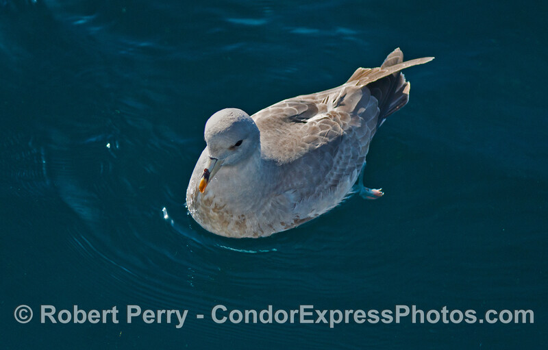 A very friendly northern fulmar (Fulmaris glacialis) sits near the Condor Express.
