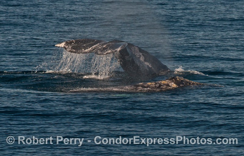 Spout spray lingers in the from one Pacific gray whale (Eschrichtius robustus) as a second whale creates a tail fluke waterfall.