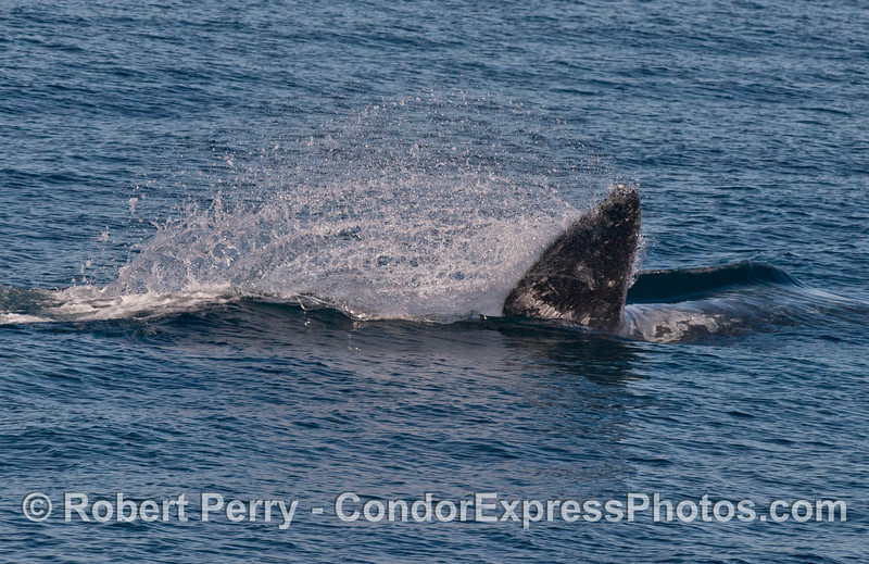 Image 2 of 2:  Pacific gray whale (Eschrichtius robustus) tail swipe.