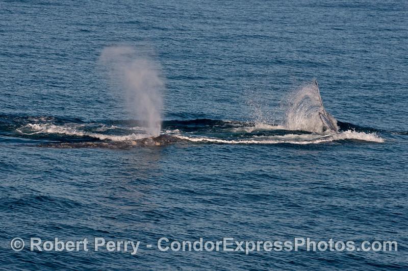 More Pacific gray whale (Eschrichtius robustus) hanky panky.