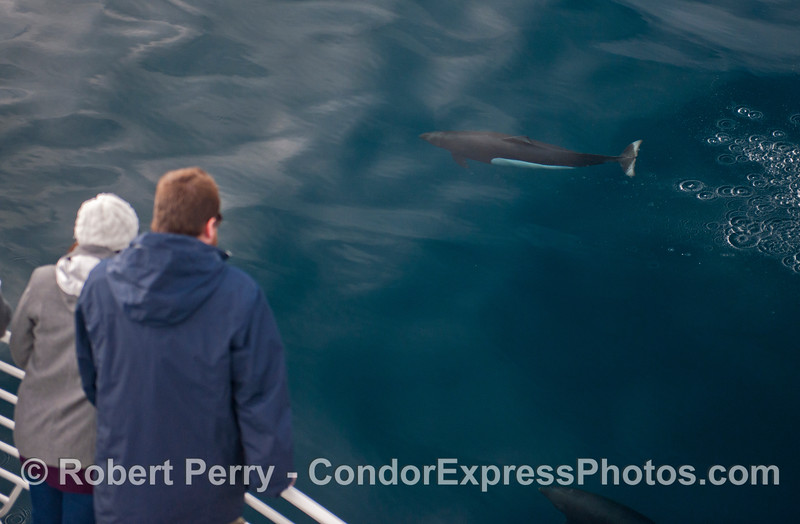 A Dall's porpoise (Phocoenoides dalli) makes a friendly approach.
