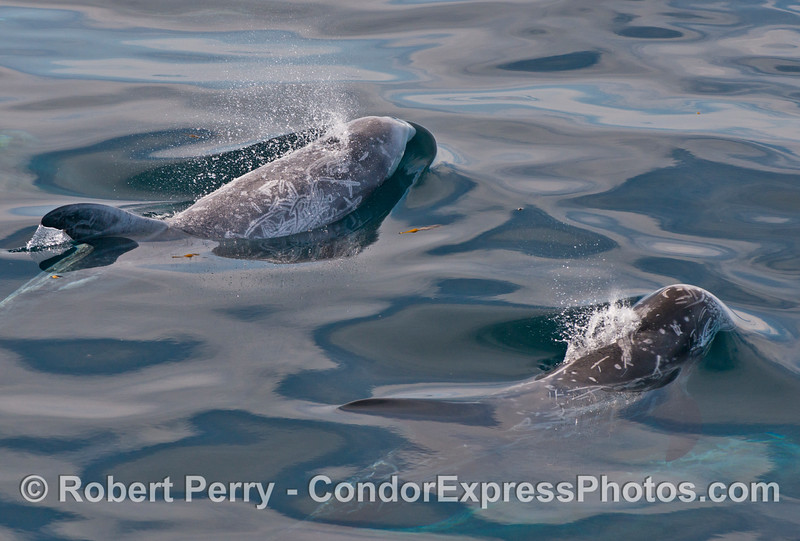 A close look at two Risso's dolphins (Grampus griseus) side by side.