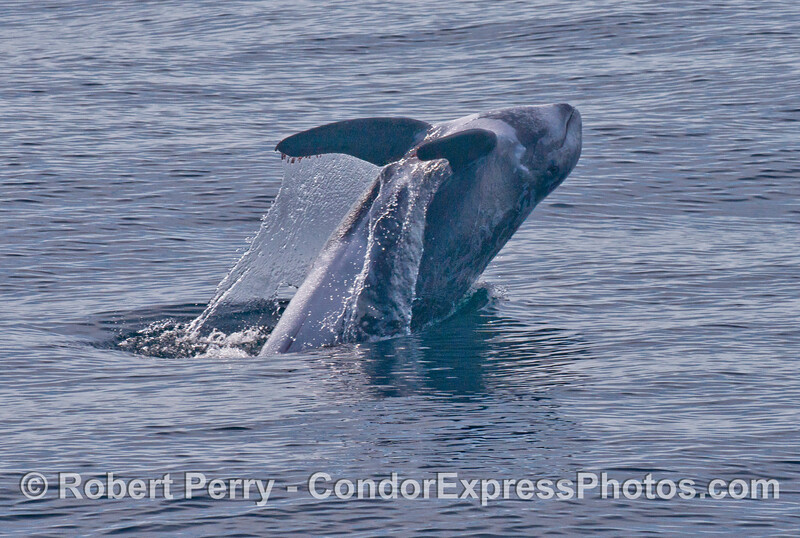 Image 1 of 3:  A Risso's dolphin (Grampus griseus) breached many times in a row