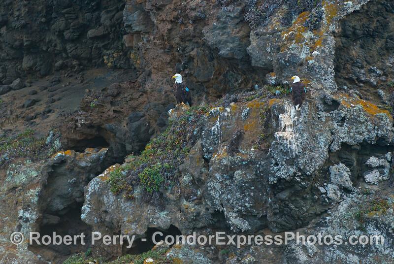 Two Santa Cruz Island bald eagles #49 & #64 (Haliaeetus leucocephala ) perch on a rocky ledge near the world famous Painted Cave.
