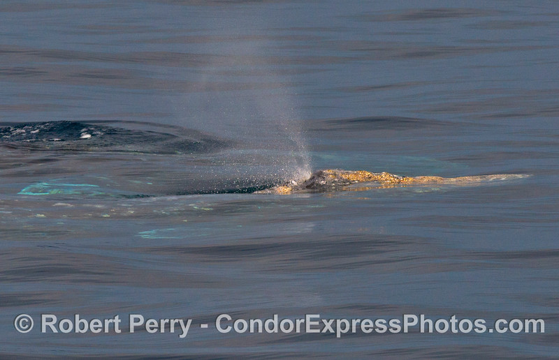 A gray whale (Eschrichtius robustus) spouts.  Yellow barnacles festoon the rostrum.