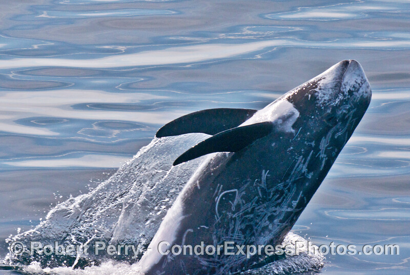 A close up of a breaching Risso's dolphin (Grampus griseus).