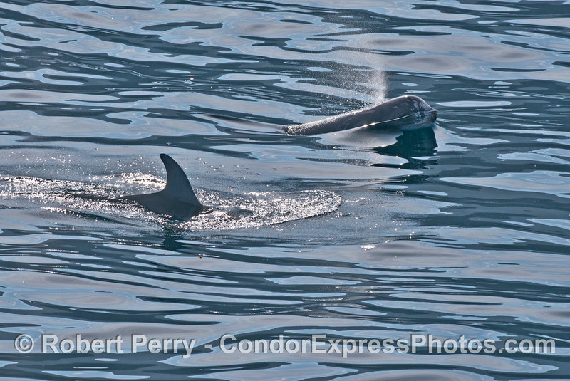 Two Risso's dolphins (Grampus griseus) in bright sunlight.