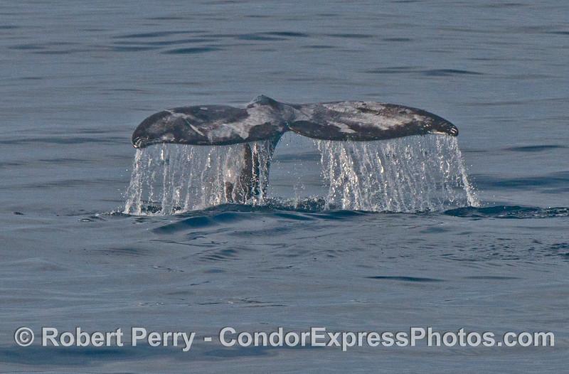 A gray whale (Eschrichtius robustus) tail fluke waterfall.