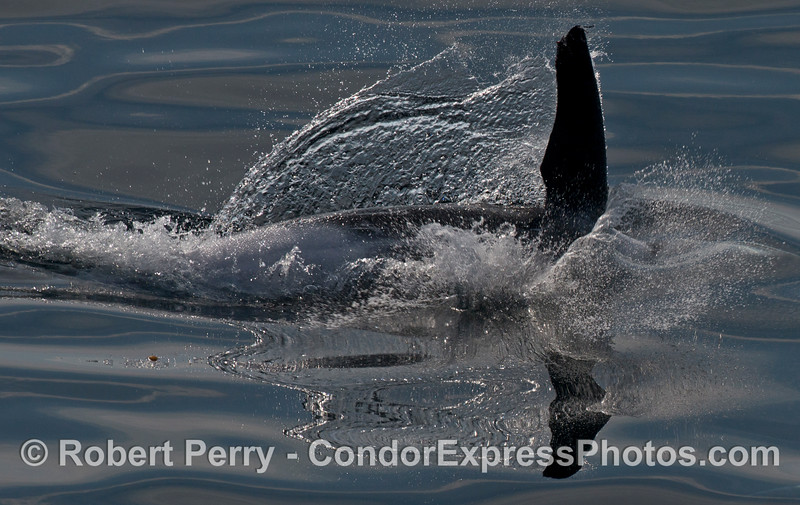 A Risso's dolphin (Grampus griseus) rolls around on a glassy ocean surface.