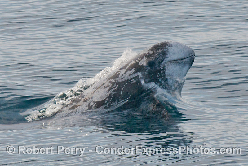 A Risso's dolphin (Grampus griseus) erupts from the water.