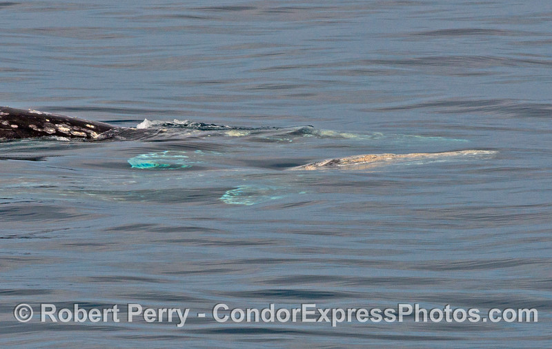 One gray whale (Eschrichtius robustus) dives as another rises up from the depths.