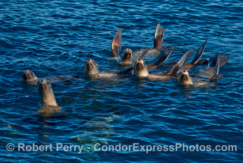 A gang of California sea lions