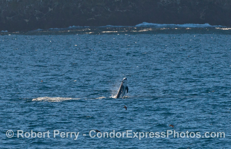 A Risso's dolphin breaches close to the sea cliffs of Santa Cruz Island