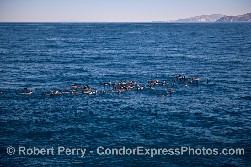 A nice sized raft of California sea lions.  Santa Cruz Island is seen to the right side across the very blue water