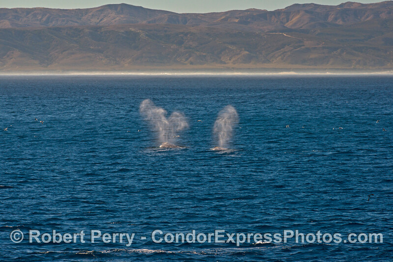 Two gray whale's spouts catch the sunlight with the eastern end of Santa Rosa Island in back