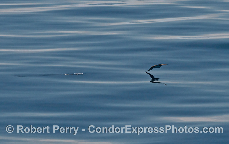 Puffinus opisthomelas in flight 2014 01-25 SB Channel-b-030