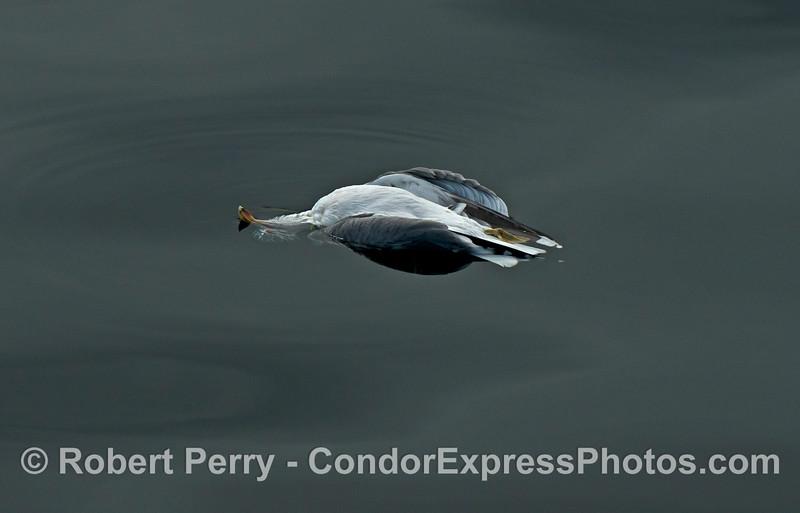 deceased Larus occidentalis floating 2014 02-08 SB Channel-006