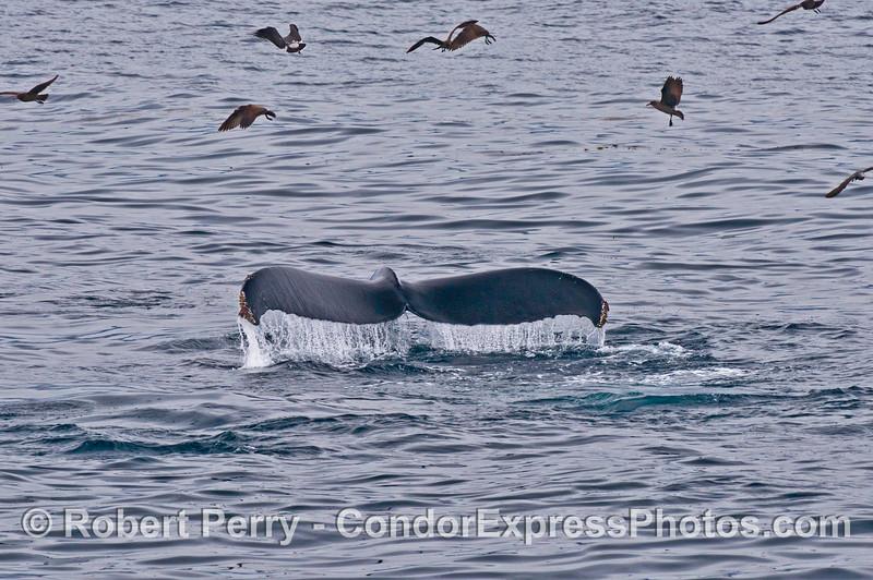 Megaptera novaeangliae tail flukes & Larus heermanni 2014 02-15 SB Channel-242
