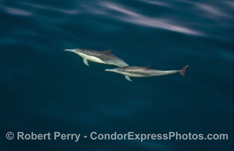 Delphinus capensis wide angle 2014 02-15 SB Channel-a-013