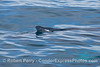 Megaptera novaeangliae tip of dorsal fin 2014 02-15 SB Channel-024