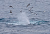 Megaptera novaeangliae spout & Larus in flight 2014 02-15 SB Channel-209