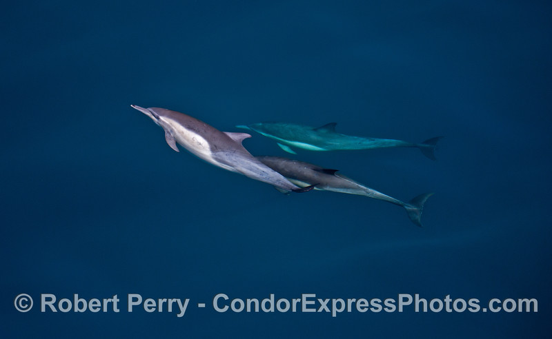 Delphinus capensis wide angle 2014 02-15 SB Channel-a-057