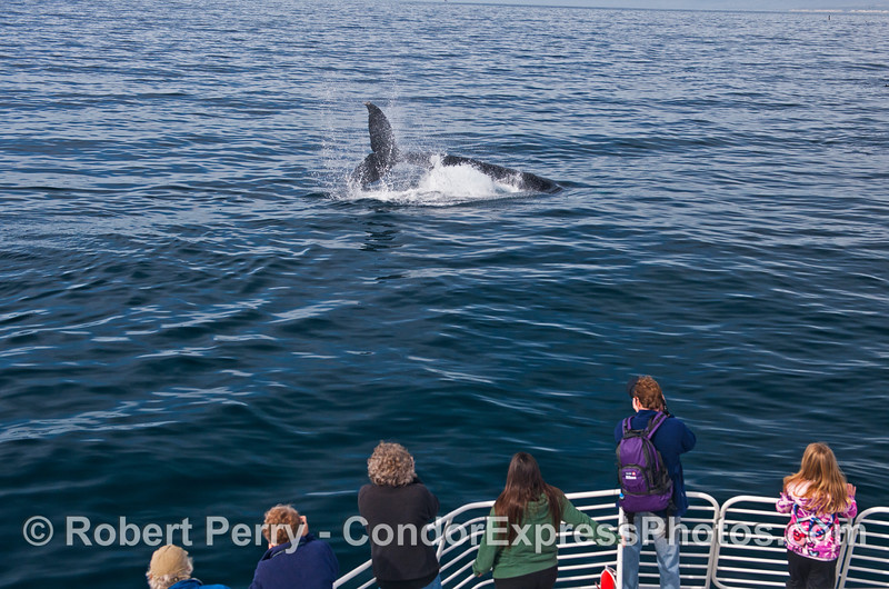 Megaptera novaeangliae tail throw and passengers 2014 02-15 SB Channel-a-002