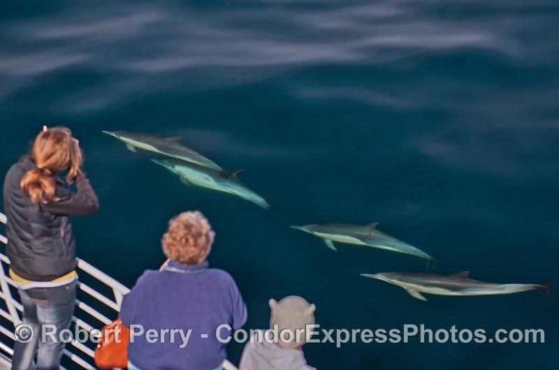 Delphinus capensis & passengers 2014 02-15 SB Channel-b-038