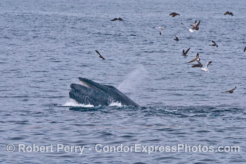 Megaptera novaeangliae baleen spout & Larus 2014 02-15 SB Channel-248
