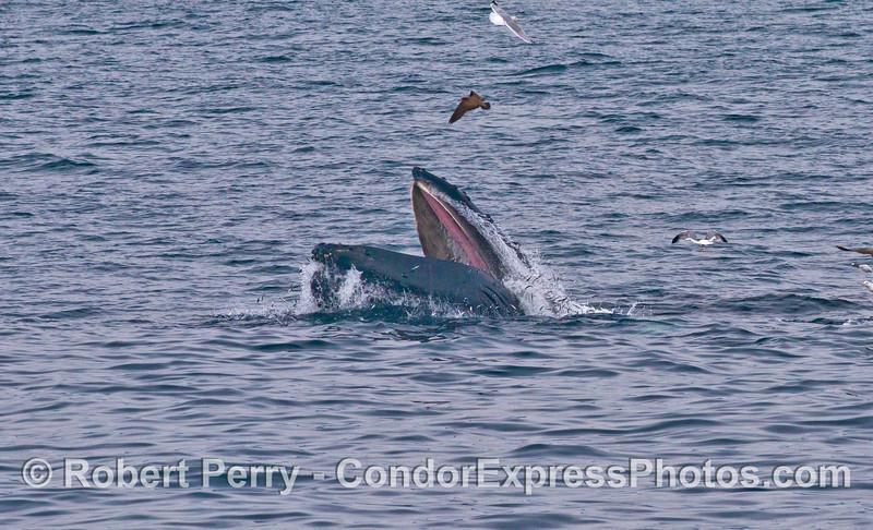 Megaptera novaeangliae surface lunge baleen Engraulis & Larus 2014 02-15 SB Channel-257