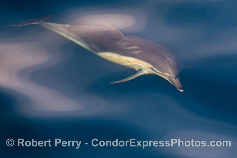 Delphinus capensis 2014 02-15 SB Channel-023