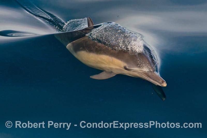 Delphinus capensis 2014 02-15 SB Channel-018