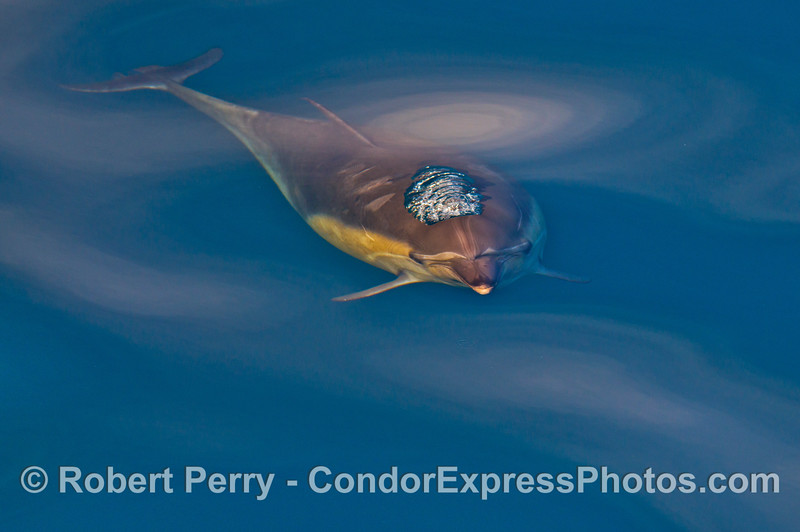 Delphinus capensis 2014 02-15 SB Channel-024
