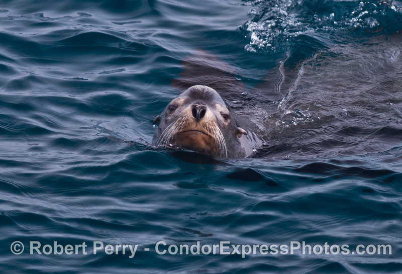 A male California sea lion is distinguished by the bump or crest on the front of its head