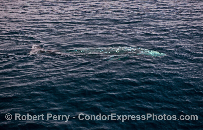 Gray whale - whole body of animal