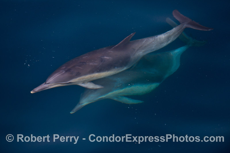 Long beaked common dolphins in very clear water